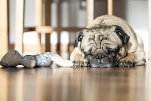 sleeping pup - stock snap